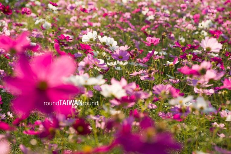 Xinshe Sea of Flowers (新社花海)-019.jpg